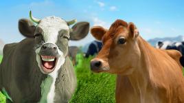 Faits amusants sur les vaches généreuses