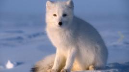 Ce que vous devez savoir sur le renard arctique