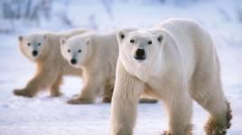 Ce qu'il faut savoir sur l'ours polaire