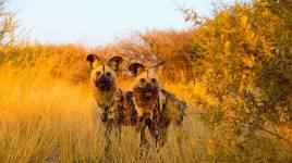 Ce qu'il faut savoir sur le chien sauvage d'Afrique