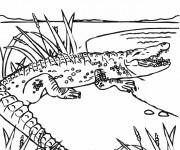 Coloriage Alligator entrant dans l'eau