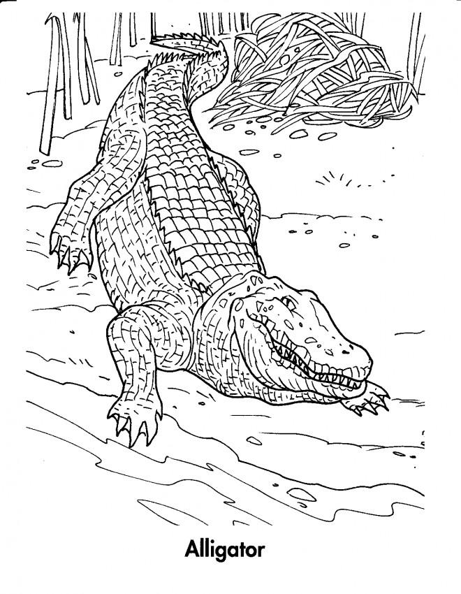 Coloriage et dessins gratuits Alligator gros à imprimer