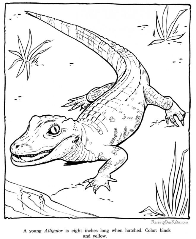 Coloriage et dessins gratuits Alligator premiers pas à imprimer