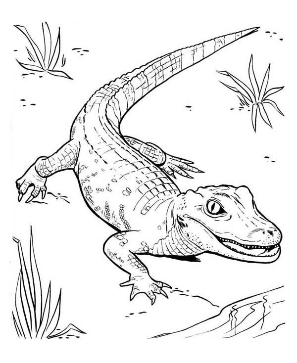 Coloriage et dessins gratuits Petit Crocodile marche à imprimer