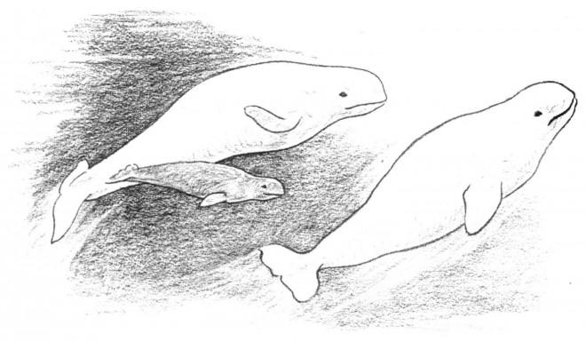 Coloriage et dessins gratuits Beluga au crayon à imprimer