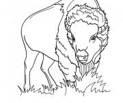 Coloriage dessin  Bison 17