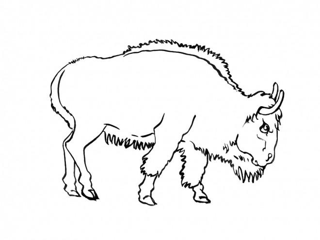 Coloriage et dessins gratuits Bison adulte à imprimer