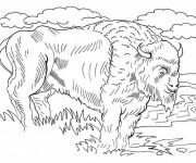 Coloriage et dessins gratuit Bison d'Amérique du Nord à imprimer