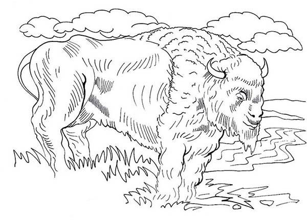 Coloriage et dessins gratuits Bison d'Amérique du Nord à imprimer