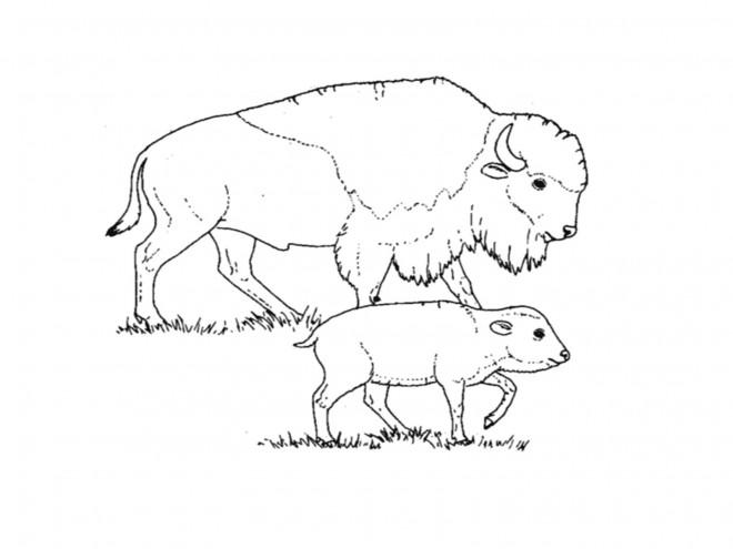 Coloriage et dessins gratuits Bison et son petit à imprimer