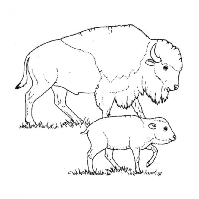 Coloriage et dessins gratuits Bisonne et son bébé à imprimer