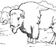 Coloriage et dessins gratuit Des bisons entrain de manger à imprimer
