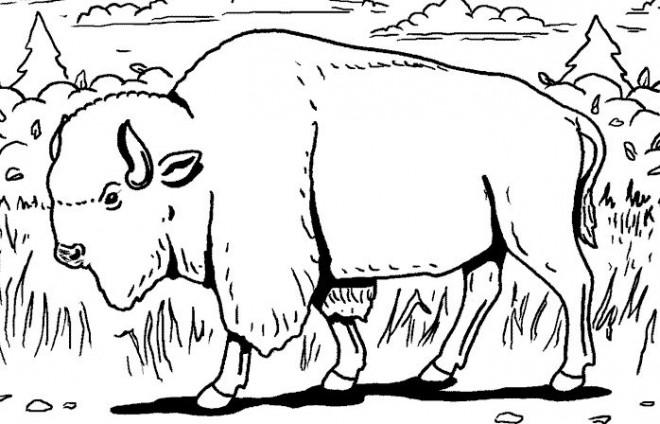 Coloriage et dessins gratuits Un Bison marche en forêt à imprimer