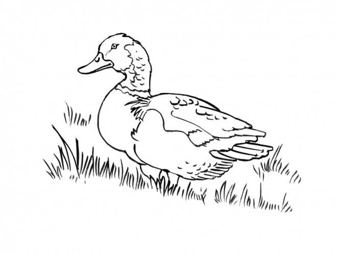 Coloriage et dessins gratuits Canard pour enfant à imprimer