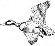Coloriage Canard qui vole