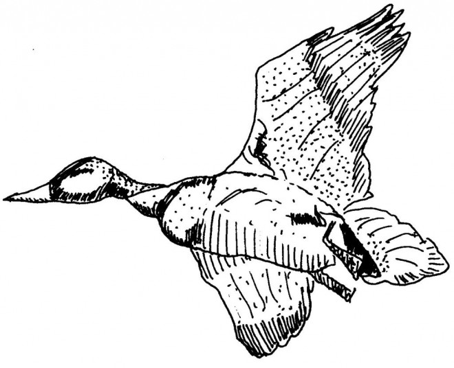 Coloriage et dessins gratuits Canard qui vole à imprimer