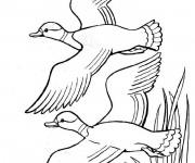 Coloriage Canards dessin à télécharger