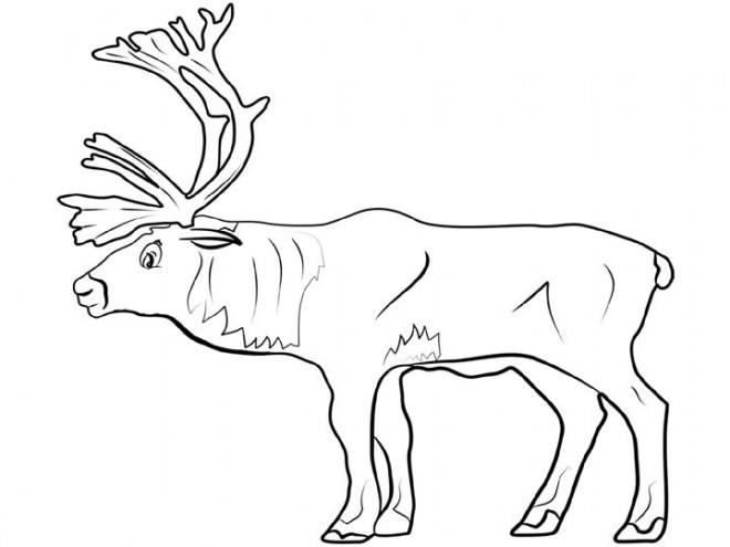 Coloriage et dessins gratuits Caribou adulte à télécharger à imprimer
