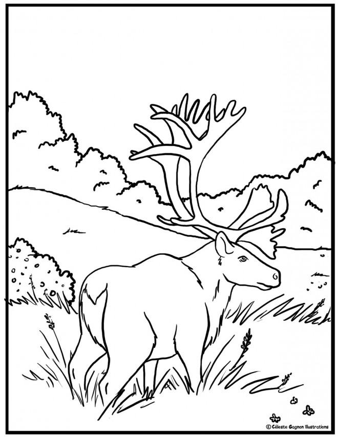 Coloriage et dessins gratuits Caribou américain à imprimer