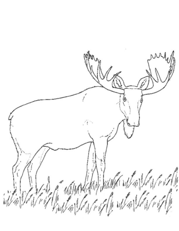 Coloriage et dessins gratuits Caribou dans la nature à imprimer