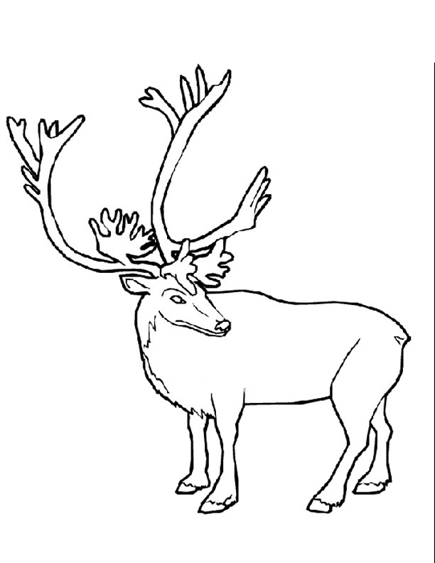 Coloriage et dessins gratuits Caribou en couleur à imprimer