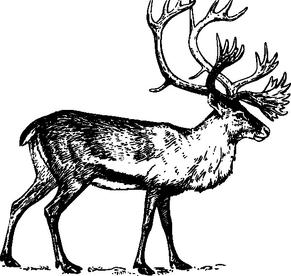 Coloriage et dessins gratuits Caribou en noir à imprimer