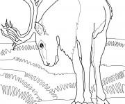 Coloriage Caribou en train de manger