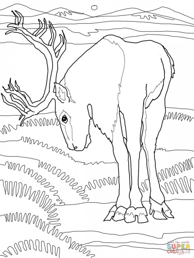 Coloriage et dessins gratuits Caribou en train de manger à imprimer