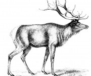 Coloriage Caribou image réaliste