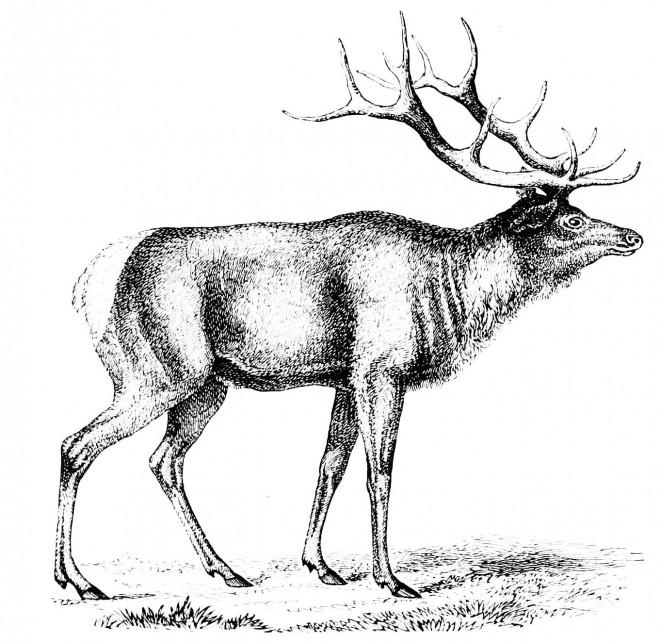 Coloriage et dessins gratuits Caribou image réaliste à imprimer