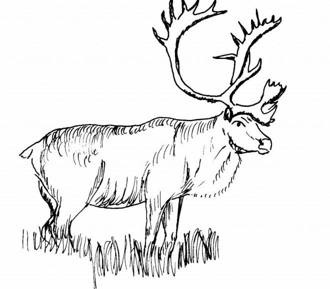 Coloriage Caribou Noir Et Blanc Dessin Gratuit à Imprimer