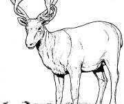 Coloriage et dessins gratuit Caribou réaliste à imprimer