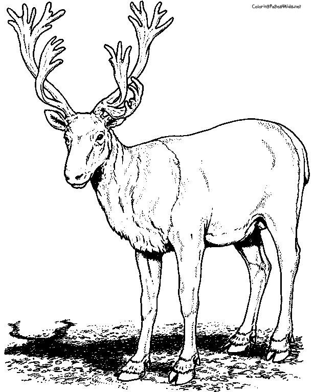 Coloriage et dessins gratuits Caribou réaliste à imprimer