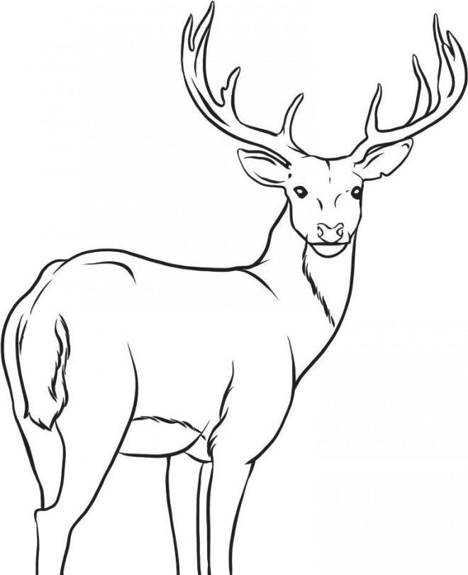 Coloriage et dessins gratuits Caribou te regarde à imprimer