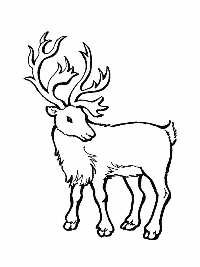 Coloriage et dessins gratuits Portrait d'un Caribou à imprimer