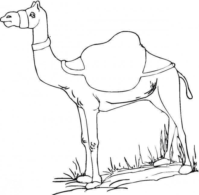 Coloriage et dessins gratuits Chameau animal à imprimer
