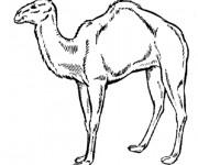 Coloriage chameau gratuitement