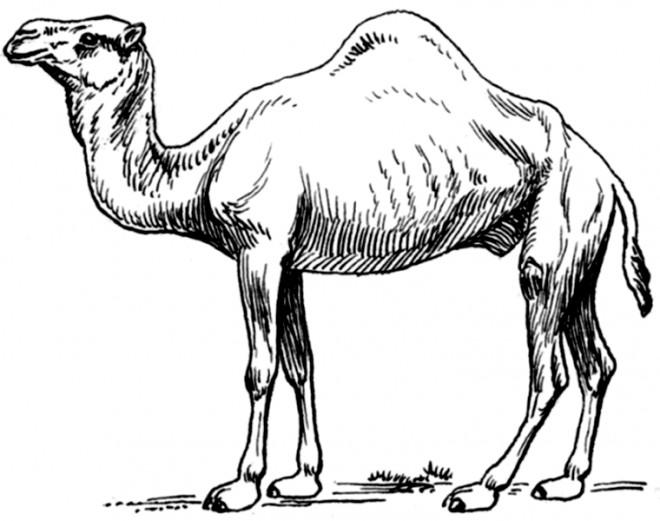 Coloriage dromadaire seul bosse dessin gratuit imprimer - Dessiner un chameau ...
