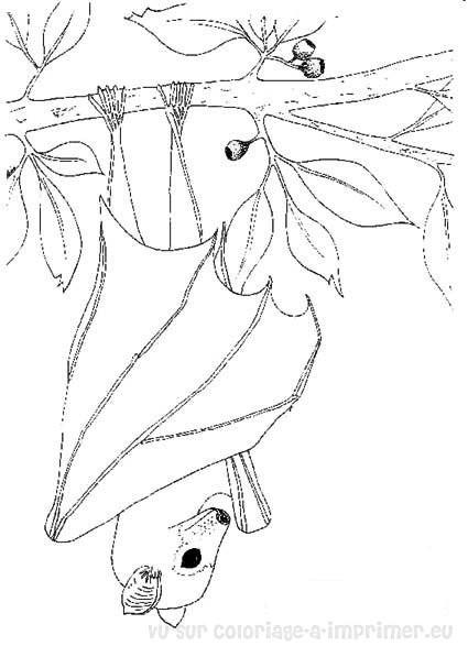 Coloriage et dessins gratuits Chauve-souris fermant ses ailes à imprimer