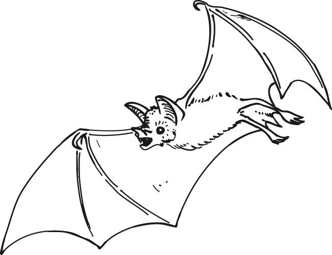 Coloriage et dessins gratuits Chauve-souris réaliste à imprimer