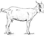 Coloriage Chèvre au crayon
