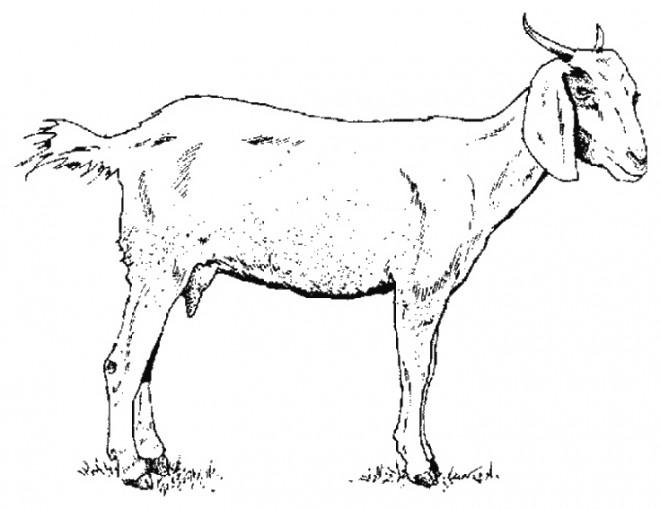 Coloriage et dessins gratuits Chèvre au crayon à imprimer