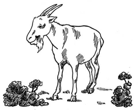 Coloriage et dessins gratuits Chèvre au pâturage à imprimer