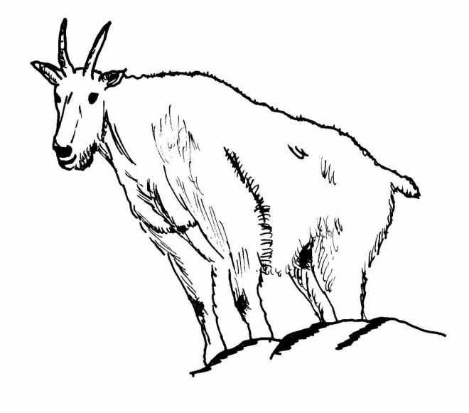 Coloriage et dessins gratuits Chèvre des montagnes Rocheuses à imprimer