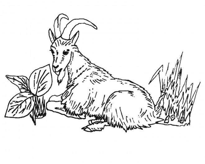 Coloriage et dessins gratuits Chèvre se repose à imprimer