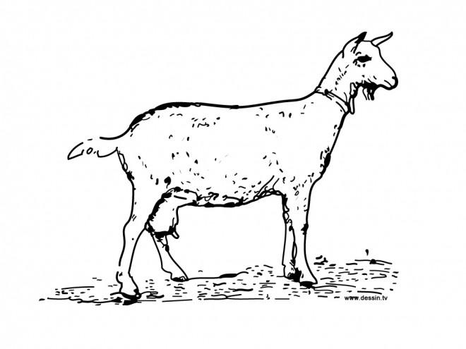 Coloriage et dessins gratuits Une Chèvre en maternelle à imprimer