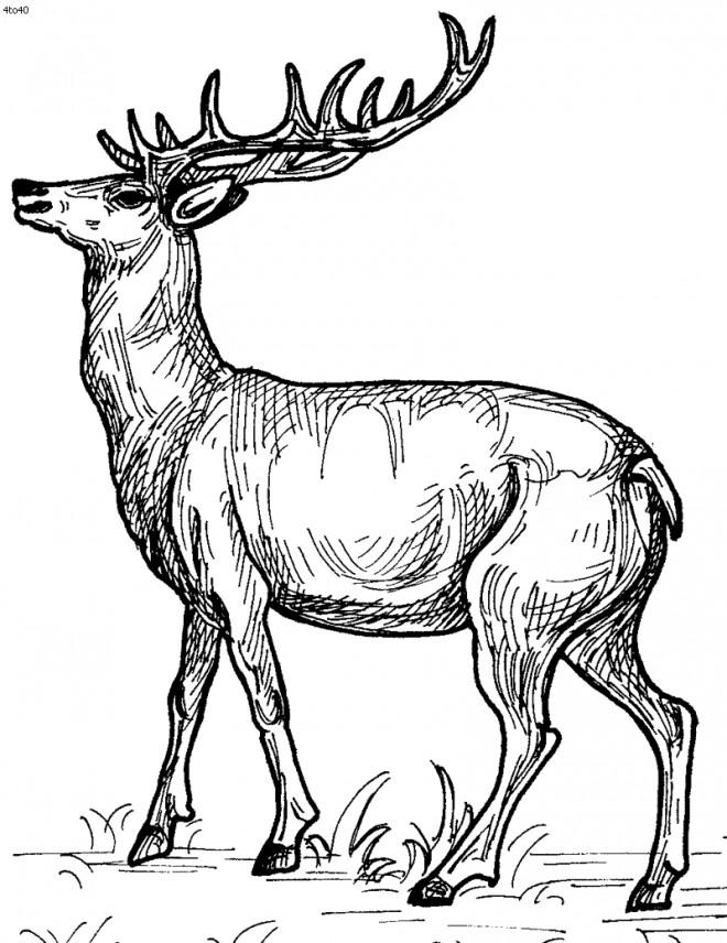 Coloriage beau image de chevreuil dessin gratuit imprimer - Dessin de chasse ...