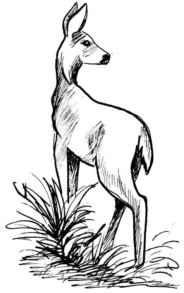 Coloriage et dessins gratuits Chevreuil au crayon à imprimer