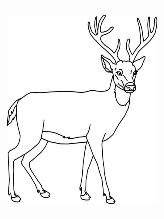Coloriage et dessins gratuits Chevreuil en couleur à imprimer
