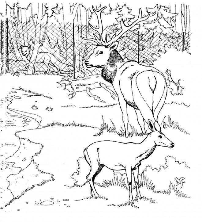 Coloriage et dessins gratuits Chevreuils au Zoo à imprimer
